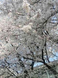 桜が咲いたよ❀.*・゚✿゜:。