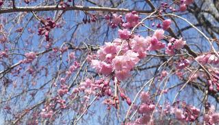 桜晴れ画像