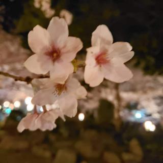 🌸桜満開🌸画像