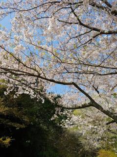 🎀桜🎀画像