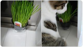 猫が食べれる草 😁画像