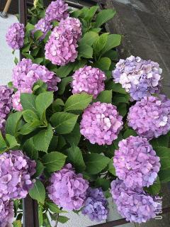 紫陽花キレイ(*´ω`*)