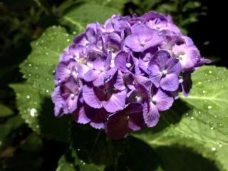 *紫陽花*画像