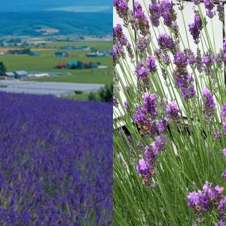 ラベンダーの良い香りが畑一面に広がっています!画像