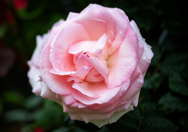 ピンクの薔薇の花言葉は…