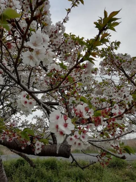 春ですねー(о´∀`о)ノ