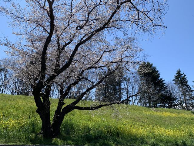 桜と菜の花と。。。🌸✨