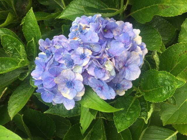 野生の紫陽花!?