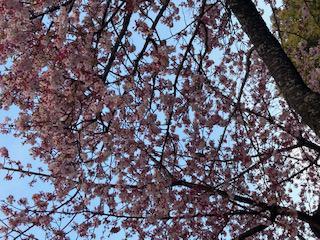春の訪れ\(^o^)/お花キレイ